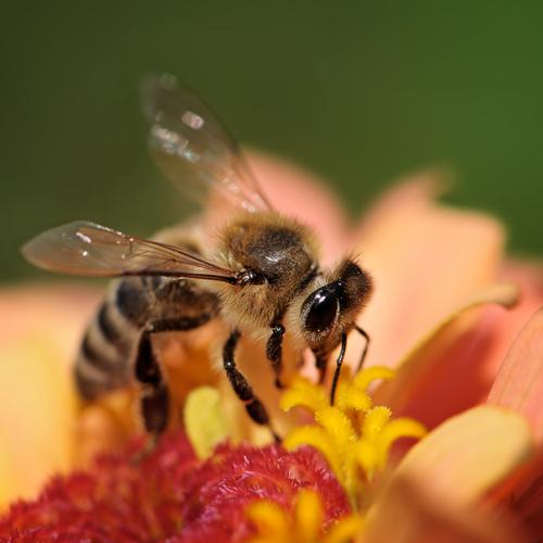 Abelhas são muito importantes no processo de reprodução sexuada dos vegetais
