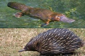 Acima, um ornitorrinco (Ornithorhynchus anatinus) e abaixo, uma équidna (Tachyglossus aculeatus).