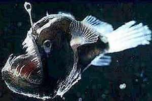 O Melanocetus johnsoni, um dos peixes abissais mais conhecidos na região abissal, possui um apêndice luminoso na cabeça