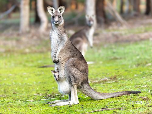 Canguru com filhote em seu marsúpio