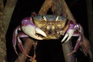 Caranguejo-uçá (Ucides cordatus): espécie encontrada nos mangues brasileiros