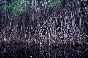 Planta típica de mangue, possui caule do tipo rizóforo, antes considerado uma raiz-suporte