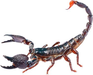 Escorpião (Ordem Scorpiones)