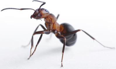 Formiga (Família Formicidae)