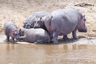 Hipopótamo: um dos maiores mamíferos terrestres do planeta