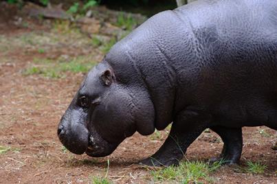 O hipopótamo-pigmeu tem hábitos predominantemente terrestres