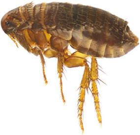 Xenopsylla cheopis: uma das espécies responsáveis pela transmissão da peste bubônica