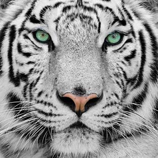 Tigres brancos podem pertencer à mesma ninhada que tigres com características comuns
