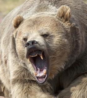 As fêmeas são bastante agressivas quando se encontram acompanhadas por suas crias