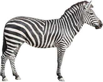 As zebras são encontradas naturalmente na África