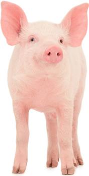 Porcos da raça pot belly são criados como animais de estimação