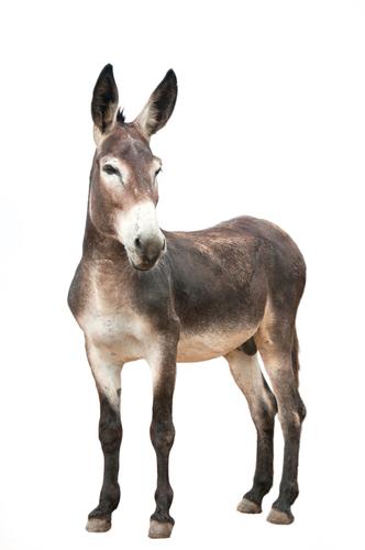 O cruzamento de égua com jumento resulta em muares (burro, mula e bardoto)