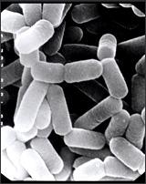 Lactobacilos presentes em iogurtes