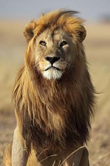 Somente os machos de leões possuem juba