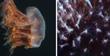 Cnidários: Medusas e Pólipos