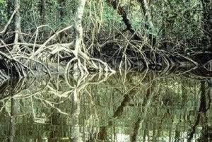 Uma típica área de mangue.