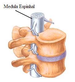 Medula espinhal envolta pela coluna vertebral
