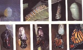 Estágios do desenvolvimento holometábolo de um artrópode