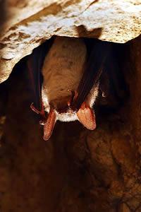 Hábitos dos morcegos