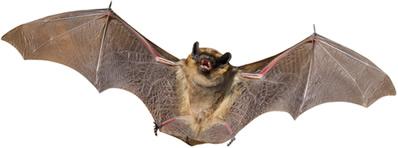 Os morcegos são os únicos mamíferos capazes de voar
