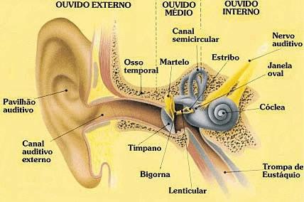Estrutura do ouvido humano