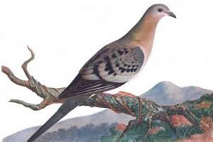Pombo viajante: ontem, a ave mais abundante do planeta; hoje, animal extinto
