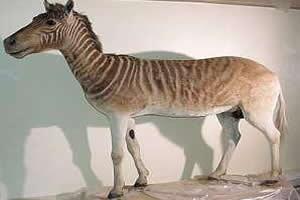 Quagga: espécie extinta em meados do século dezenove.