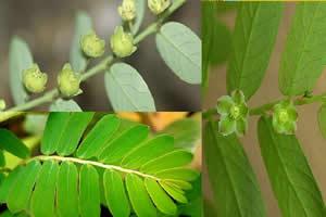 Phyllanthus niruri: a espécie de quebra-pedra mais comum em nosso país