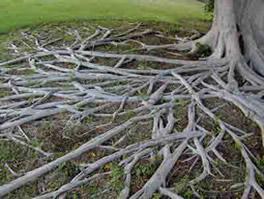 A raiz é responsável pela absorção de água e sais minerais