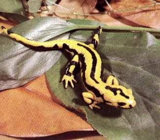 A salamandra é resistente ao fogo