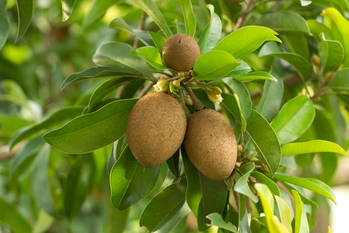 Fruta denominada sapoti