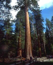 Sequóia gigante (Sequoiadendron giganteum), atualmente a maior árvore conhecida