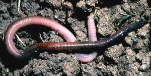 Representante dos anelídeos: minhoca (oligoqueta)
