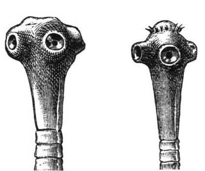 Estrutura da Taenia saginata e Taenia solium.