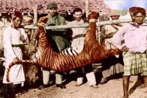 Tigre de bali: extinto na década de 30, na Indonésia.