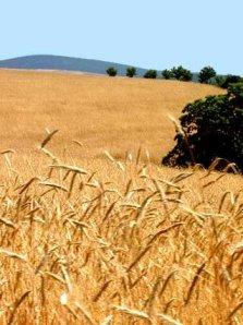 A região Sul do Brasil destaca-se na produção de trigo