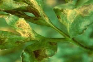 Planta infectada por vírus.