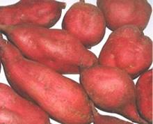 Batata-doce é a quarta hortaliça mais cultivada no Brasil