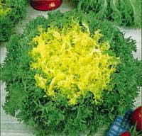 Escarola é uma verdura muito popular na Europa
