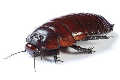 A barata é um inseto cosmopolita, ou seja: é encontrado em todo o planeta