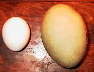 Ovo branco e ovo amarelo