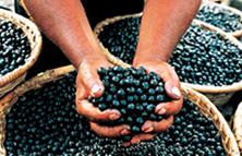 O açaí é uma espécie típica do Brasil que atrai paladares do mundo inteiro