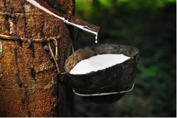 O látex (borracha natural) é extraído da seringueira (Hevea brasiliensis)