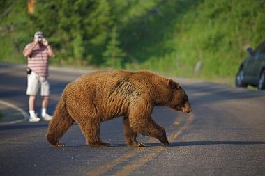 Turista fotografando um urso no Parque Nacional de Yellowstone