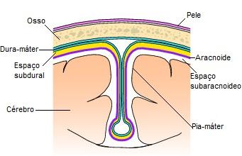 Observe a posição de cada meninge