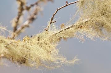 O líquen do gênero Usnea é um exemplo de talo fruticoso