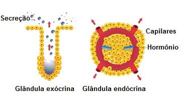 Existem dois tipos principais de glândulas