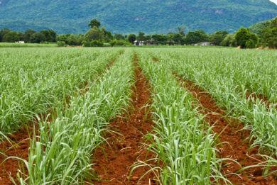 Latifúndio destinado à produção de cana-de-açúcar