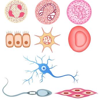 Diferentes tipos celulares humanos