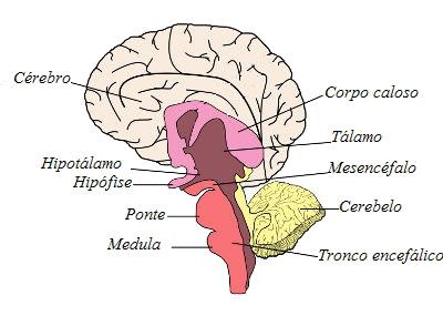 Observe a localização das principais partes do encéfalo